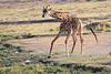 Giraffe_Mara_North_Elewana__0016