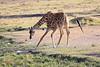 Giraffe_Mara_North_Elewana__0014