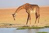 Giraffe_Amboseli_Elewana__0020