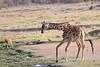 Giraffe_Mara_North_Elewana__0019