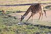 Giraffe_Mara_North_Elewana__0017