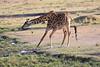 Giraffe_Mara_North_Elewana__0018