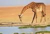 Giraffe_Amboseli_Elewana__0006