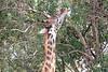 Giraffe_Mara_North_Elewana__0001