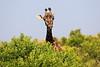Giraffe_Mara_North_Elewana__0002