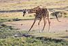 Giraffe_Mara_North_Elewana__0015