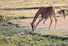 Giraffe_Mara_North_Elewana__0013