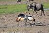 Grey_Crowned_Crane_Amboseli_Elewana__0014