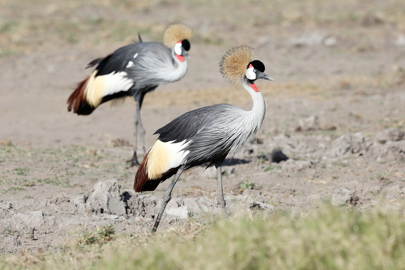 Grey_Crowned_Crane_Amboseli_Elewana__0103