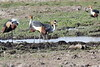 Grey_Crowned_Crane_Amboseli_Elewana__0105