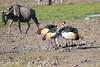 Grey_Crowned_Crane_Amboseli_Elewana__0015