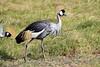 Grey_Crowned_Crane_Amboseli_Elewana__0009