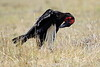 Ground_Hornbill_Mara_Reserve_Asilia__0038
