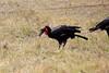 Ground_Hornbill_Mara_Reserve_Asilia__0004