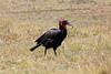 Ground_Hornbill_Mara_Reserve_Asilia__0018