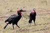 Ground_Hornbill_Mara_Reserve_Asilia__0026