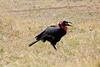 Ground_Hornbill_Mara_Reserve_Asilia__0025