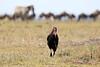 Ground_Hornbill_Mara_Reserve_Asilia__0029