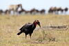 Ground_Hornbill_Mara_Reserve_Asilia__0030