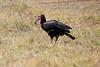 Ground_Hornbill_Mara_Reserve_Asilia__0012