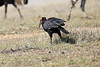Ground_Hornbill_Mara_Reserve_Asilia__0054