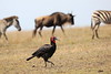 Ground_Hornbill_Mara_Reserve_Asilia__0052