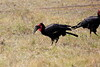 Ground_Hornbill_Mara_Reserve_Asilia__0001