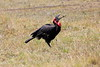 Ground_Hornbill_Mara_Reserve_Asilia__0023
