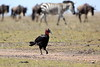 Ground_Hornbill_Mara_Reserve_Asilia__0063
