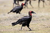 Ground_Hornbill_Mara_Reserve_Asilia__0068