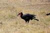 Ground_Hornbill_Mara_Reserve_Asilia__0008