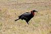 Ground_Hornbill_Mara_Reserve_Asilia__0024