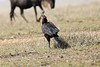 Ground_Hornbill_Mara_Reserve_Asilia__0058