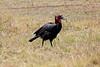 Ground_Hornbill_Mara_Reserve_Asilia__0016