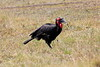 Ground_Hornbill_Mara_Reserve_Asilia__0021