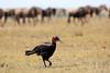 Ground_Hornbill_Mara_Reserve_Asilia__0051