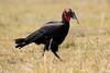 Ground_Hornbill_Mara_Reserve_Asilia__0031
