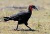 Ground_Hornbill_Mara_Reserve_Asilia__0028