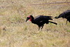 Ground_Hornbill_Mara_Reserve_Asilia__0002
