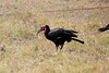 Ground_Hornbill_Mara_Reserve_Asilia__0007