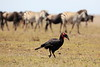 Ground_Hornbill_Mara_Reserve_Asilia__0049