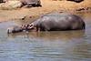 Hippo_Mara_Reserve_Asilia__0275