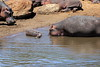 Hippo_Mara_Reserve_Asilia__0345
