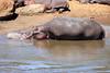Hippo_Mara_Reserve_Asilia__0309