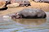 Hippo_Mara_Reserve_Asilia__0314