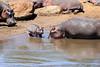 Hippo_Mara_Reserve_Asilia__0295