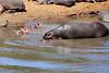 Hippo_Mara_Reserve_Asilia__0257