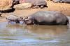 Hippo_Mara_Reserve_Asilia__0291