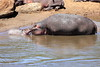 Hippo_Mara_Reserve_Asilia__0318