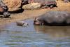 Hippo_Mara_Reserve_Asilia__0347